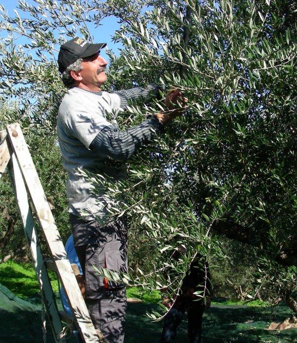 olives-1_pystykuva